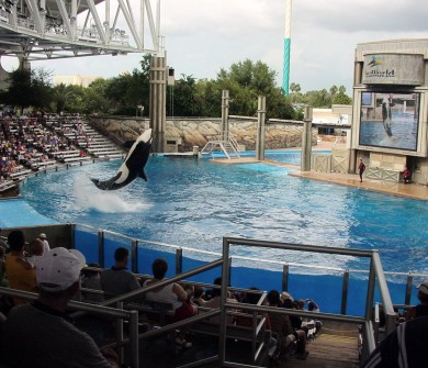 A tataraneta da baleia Shamu. A principal atração do Sea World