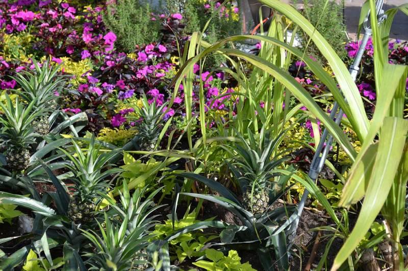 Flower & Garden Festival - Pra finalizar, uma foto meio nada a ver que eu adorei: olha aí o abacaxi crescendo.