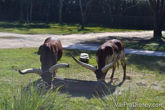 Alguns dos animais da savana que podem ser vistos do Animal Kingdom Lodge