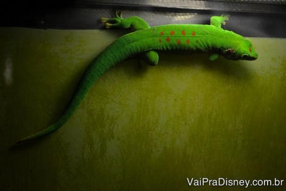 Olha a cor desse lagarto!
