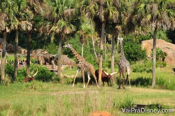 As girafas do Animal Kingdom na savana durante o Wild Africa Trek