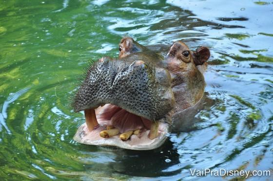 Foto de um hipopótamo na água durante o tour, de boca aberta