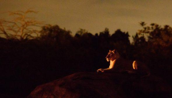 A experiência de visitar o Safari do Animal Kingdom a noite é incrível e o comportamento dos animais pode mudar bastante.