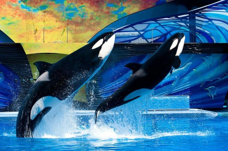 São muitos os shows apresentados no SeaWorld, por isso é importante ficar de olho nos horários. Foto de duas orcas pulando e saindo da água durante um dos shows do SeaWorld