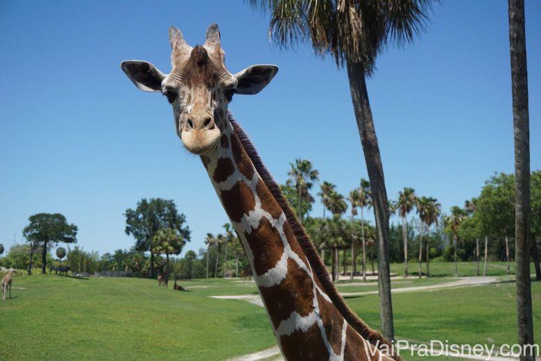 Foto da girafa bem de pertinho, com a savana e o céu azul ao fundo