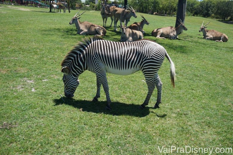 Foto de uma zebra comendo na savana, também tirada bem de perto