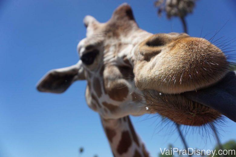 Foto da girafa mais de perto ainda, com a língua de fora, no Serengeti Safari