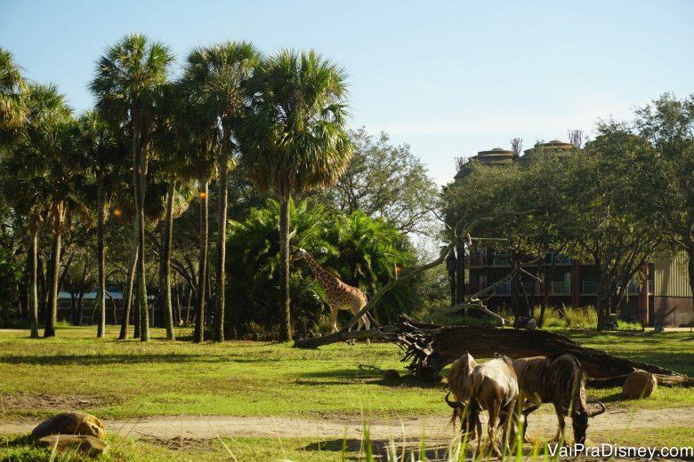 A girafa e os gnus na savana, vistos de dentro do Sanaa