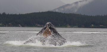Foto da baleia vista durante o passeio em Juneau no cruzeiro da Disney pelo Alaska