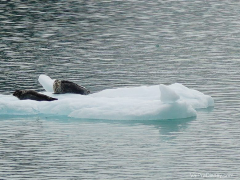 Focas de boa descansando no gelo.