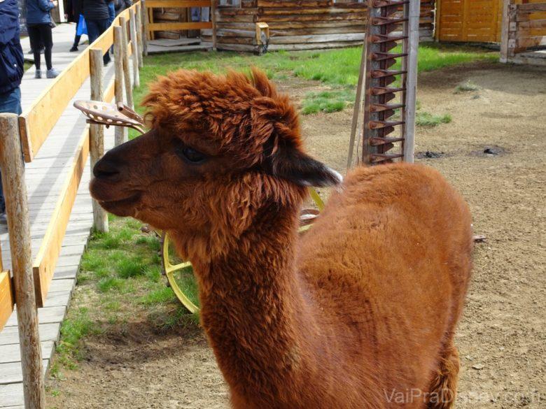 """Foto de uma alpaca no canto """"fazendinha"""" em Caribou Crossing"""