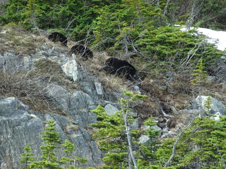 Foto da família de ursos vista durante o passeio Yukon Discovery Tour