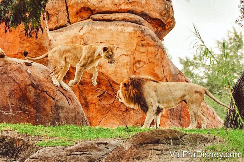 A sua melhor chance de ver o Leão acordado é bem cedinho ou no fim da tarde.