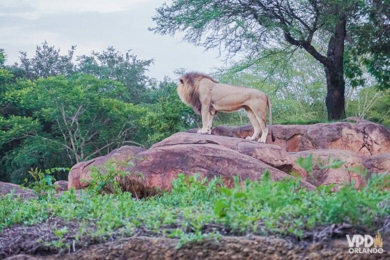 Foto do leão durante o safári do Animal Kingdom, em pé sobre as pedras.