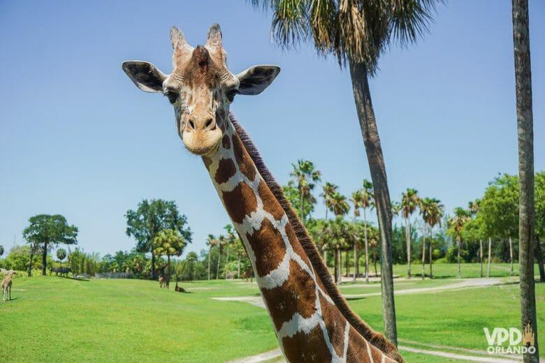 Provando que o Busch Gardens não vive só de montanha-russa. Foto de uma girafa no Busch Gardens, com  uma grande área verde e o céu azul ao fundo.