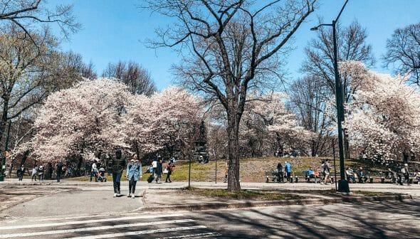 Foto das árvores floridas no Central Park, em Nova York, com o céu azul ao fundo